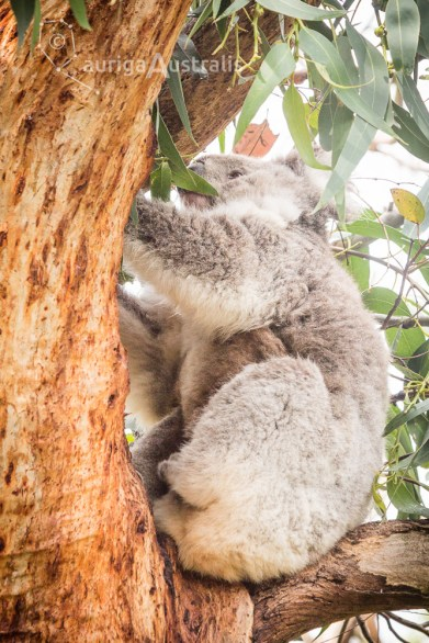 koala_conservation_centre_15