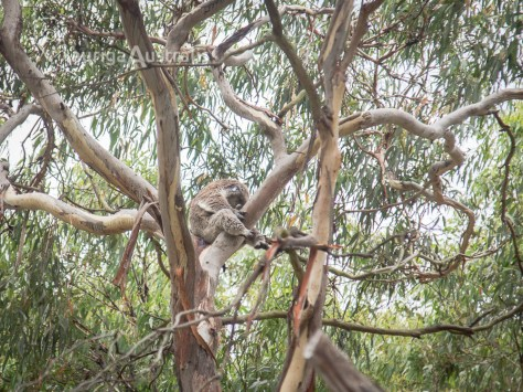 koala_conservation_centre_9