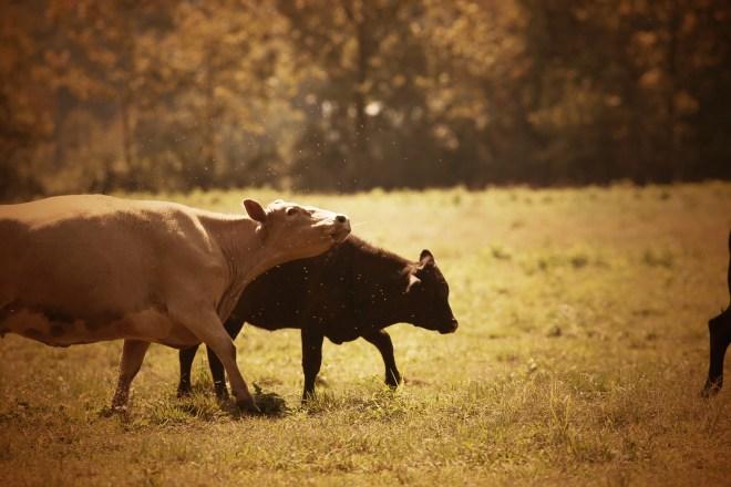 cow spit