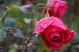 Closeup of Raindrops on Pink Rose