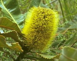 AFI003: Banksia Robur