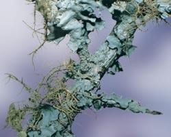AFI069: Lichen
