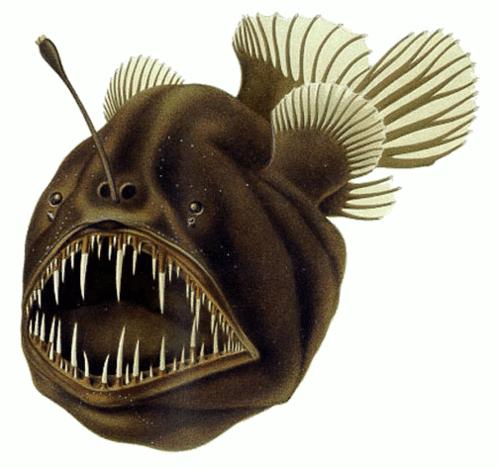 500px-Humpback_anglerfish
