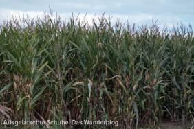 Maisfeld am Obstweg Leichlingen