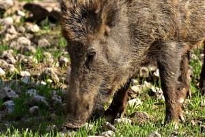 Wildschwein-Feld