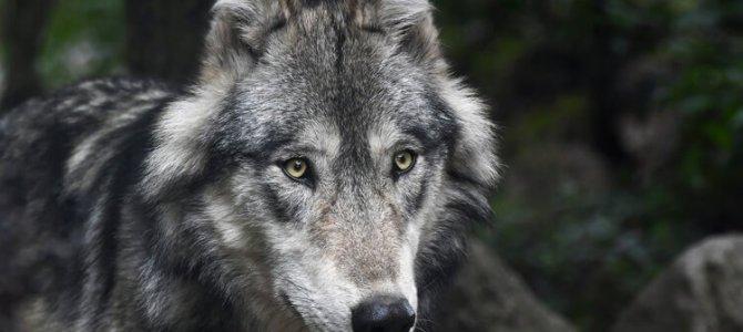 4 Tipps: So verhältst Du dich, wenn Du einem Wolf begegnest!