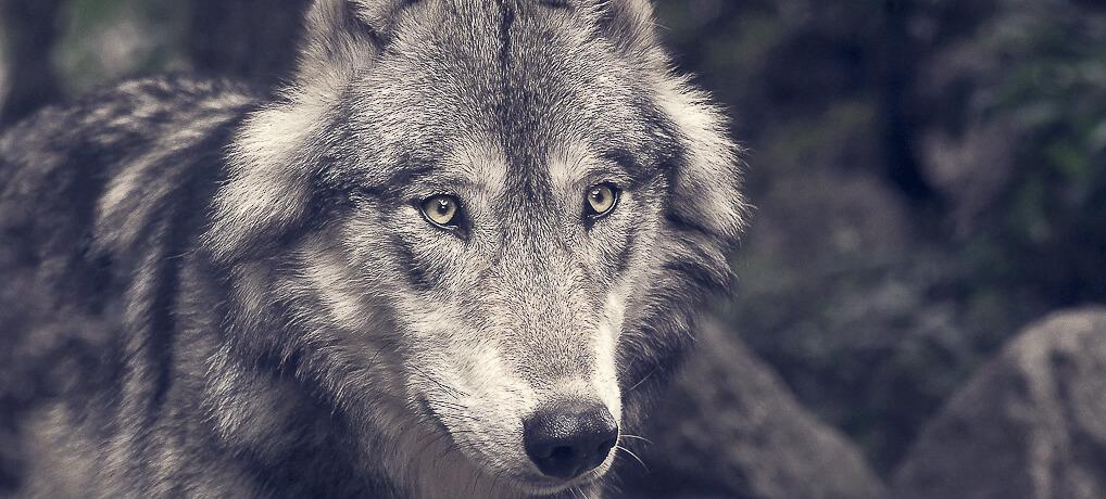 Der Wolf in deutschen Wäldern