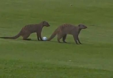 Mongooses chase golf balls at European Tour event in South Africa