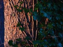 TREE IVY IS A HYBRID BETWEEN GENUSES, WHICH IS RARE. http://home.howstuffworks.com/tree-ivy.htm