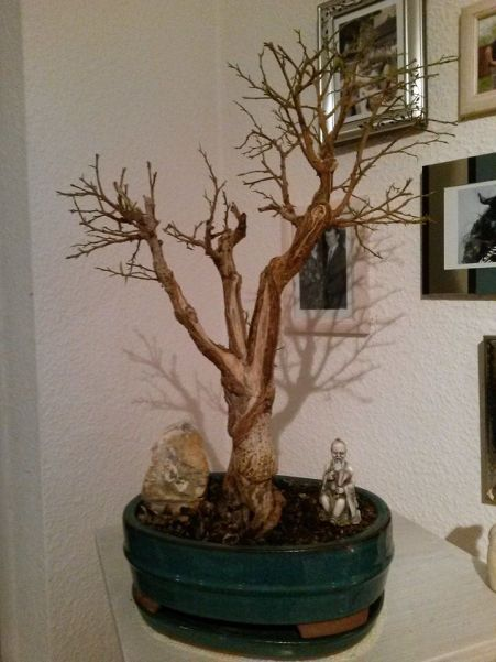 Ficus Blattschnitt nachher