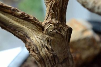 Ficus Totholz