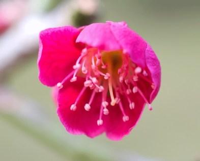 Blüte der jap. Aprikose