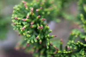 Neuer Blattaustrieb der Muschelzypresse