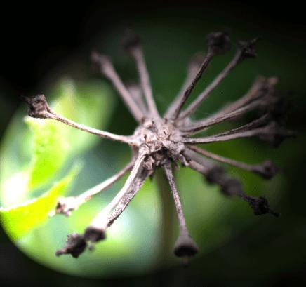 Efeu alter Fruchtstand