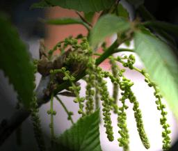 Kaukasuseiche mit Blütenstand
