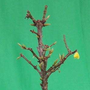 Forsythie Blüte