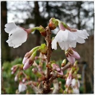 Blüte der jap. Zierkirsche