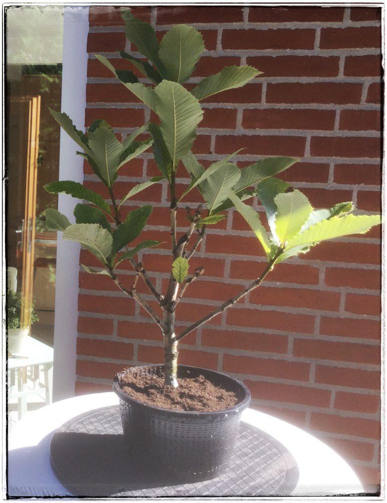 Der abgemooste Baum in Trainingsschale (Teichkorb9