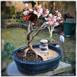 Zierkirsche - Blütenbesuch
