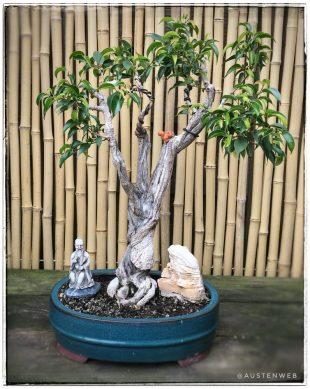 Birkenfeige Ficus benjamina