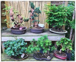 Bonsaigruppe