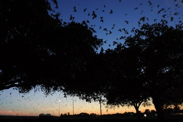 shelia hargis wildlife rehabilitation texas parks and wildlife flight swarm austin bats