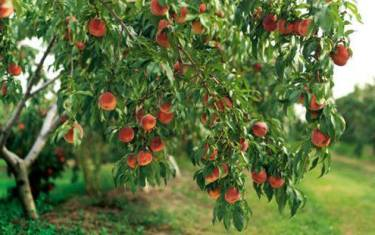 Fruit Trees: Selecting, Planting and Caring