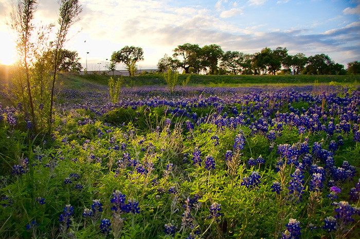 bluebonnet field wildflowers spring pasture beautiful pretty nature green grass leaves
