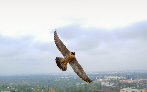 Want to Get Up Close and Personal with a Peregrine Falcon? Now You Can with this New UT Tower Cam