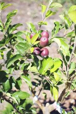 Paso Robles Pasolivo Olive Tree