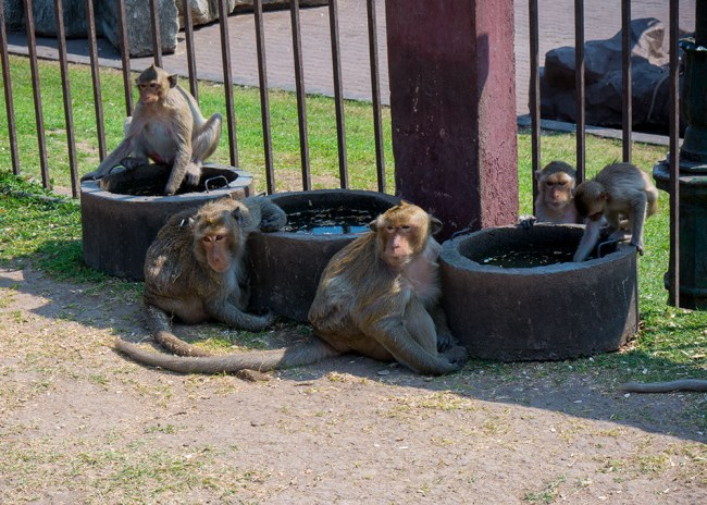 Monkeys roaming the temple grounds in Lopburi Thailand