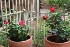 Dalton Roses