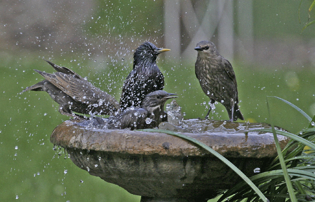 starlings-in-bird-bath
