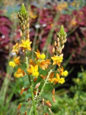 B. frutescens_Bulbine_Best_Xeriscaping_Plants_For_texas