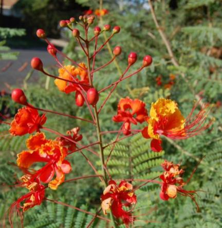 Caesalpinia pulcherrima_Pride_Of_Barbados_austin_texas_native_plants_xeriscape