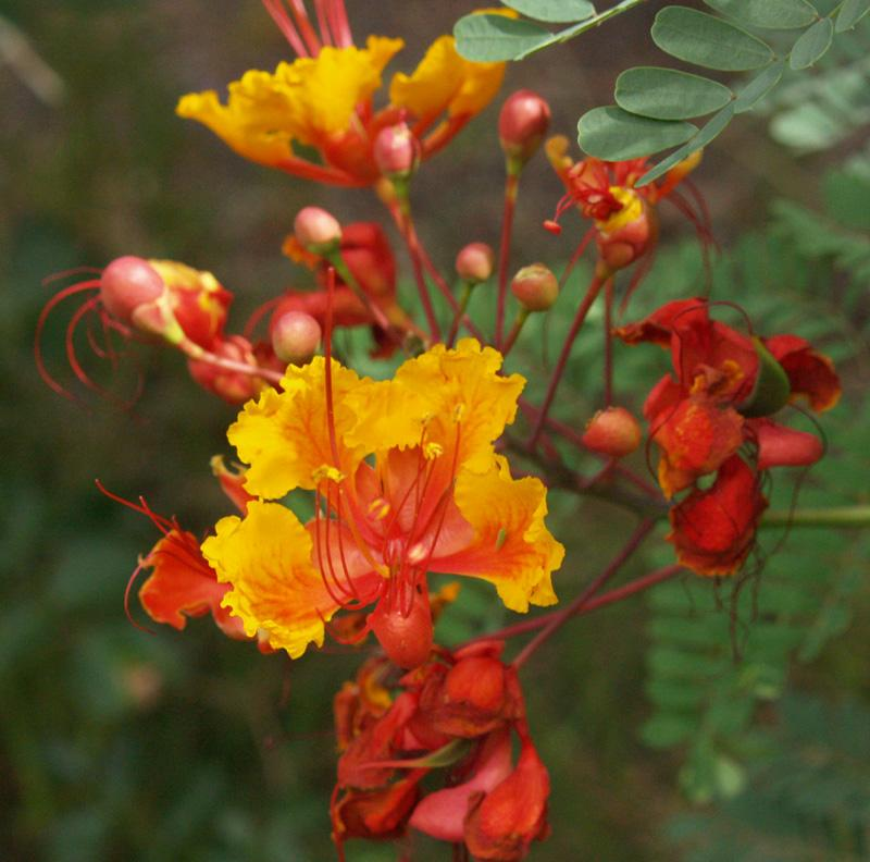 Caesalpinia pulcherrima_Pride_Of_Barbados_best_plants_for_xeriscaping_texas