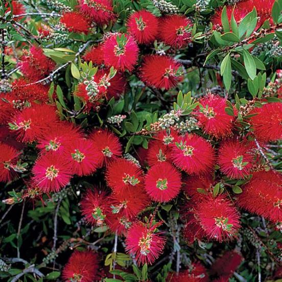 Callistemon_Citrinus_Bottlebrush_Tree_Shrub_Texas_Waterwise_Landscaper_Design_Xeriscape