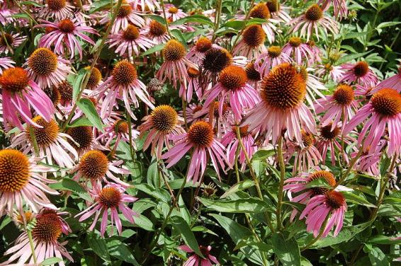 Echinacea purpurea_purple_coneflower_Austin_native_landscaping