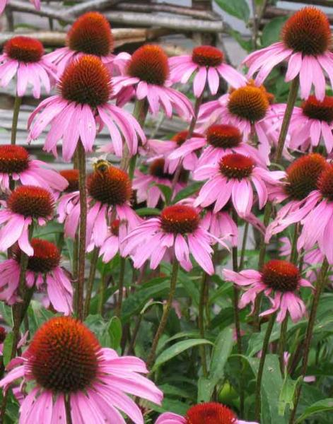 Echinacea purpurea_purple_coneflower_waterwise_drought_tolerant_proof_resistan_landscape_design