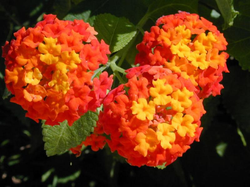 Texas Lantana Austin Native Landscaping