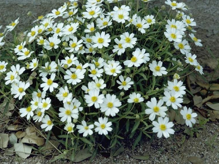 Melampodium Leucanthum_Black_Foot_Daisy_xeriscape_flower_beds_texas