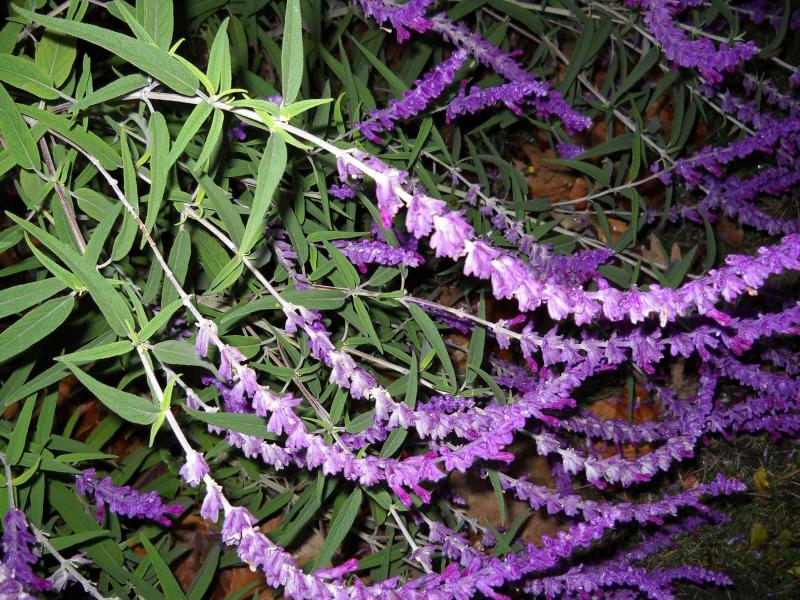 Mexican_Bush_Sage_Salvia_leucantha_Maintenance_Low_Xeriscape