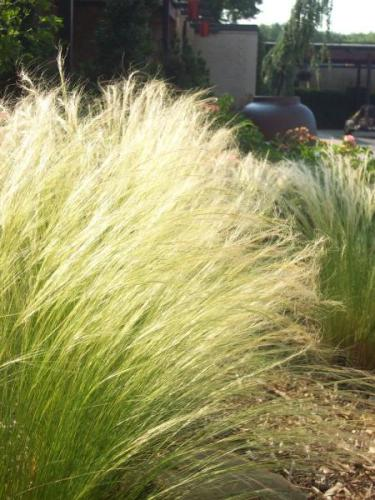Nassella Stipa tenuissima_mexican_feathergrass_austin_native_landscaping_texas_plants