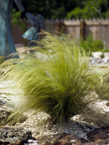 Low Growing Ornamental Grass Mexican feather grass austin native landscaping nassella stipa tenuissimamexicanfeathergrassdroughttolerantwaterwiseproofresistanttexas workwithnaturefo