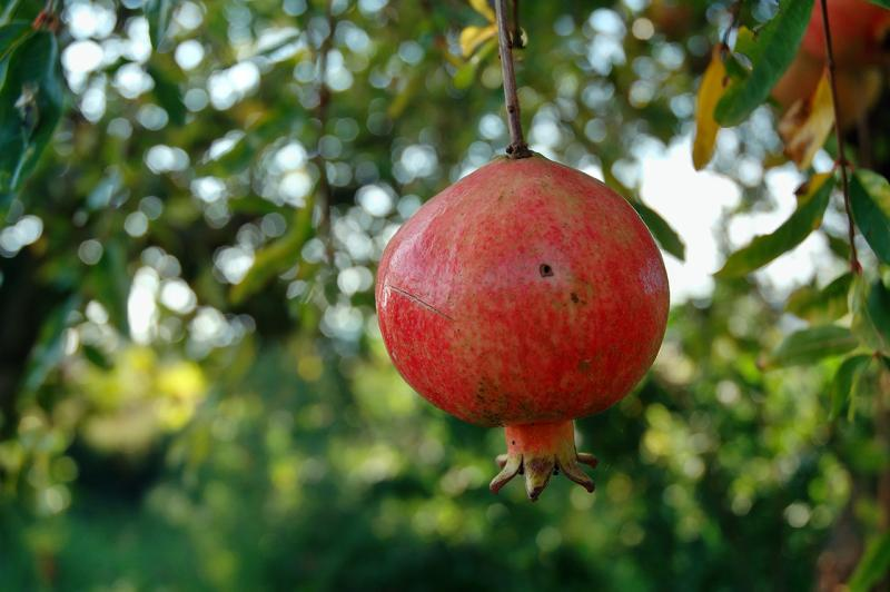 Punica granatum_pomegranate_best_edible_landscaping_for_austin_texas_plants