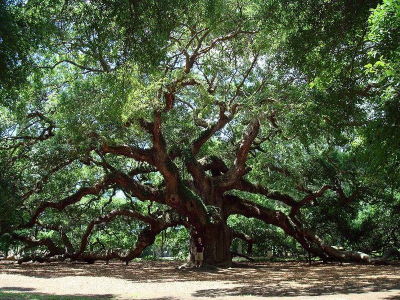 Quercus_Virginiana_Southern_Live_Oak_Austin_Xeriscaping_Design