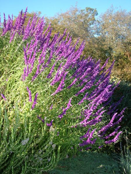 Salvia_leucantha_Maintenance_Flower_bed_Install_Design_Landscaper