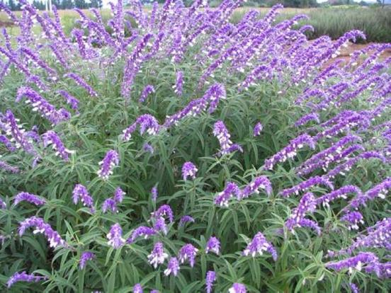 Salvia_leucantha_Mexican_Bush_Sage_Best_Plant_for_Texas_Austin