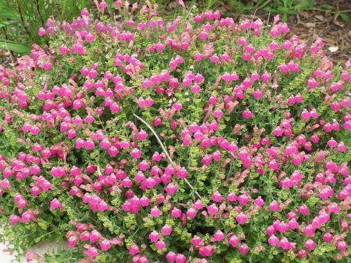 Scutellaria suffrutescens_Pink_skullcap_best_plants_for_low_water_waterwise_lanscaping_texas_austin