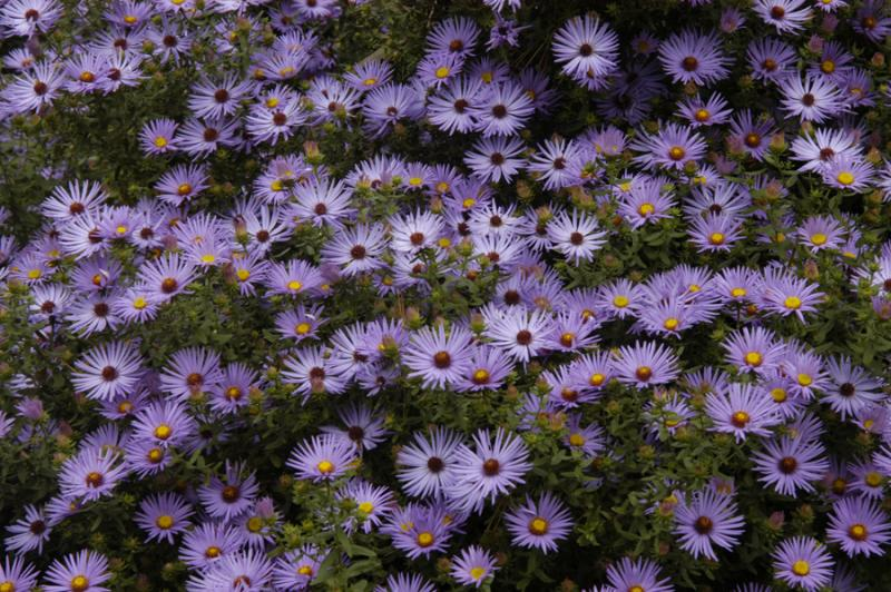 Symphyotrichum oblongifolium_Fall_Aster_Aromatic_Xeriscaping_design_Austin_Texas_Native_Plants
